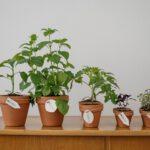 Olijfboompje – een mediterrane sfeermaker voor het terras of balkon